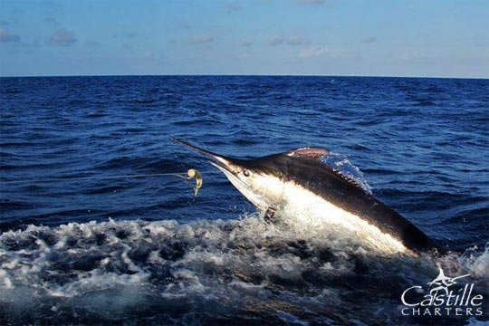 castille black marlin