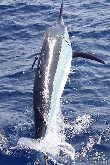 850lb black marlin on Castille