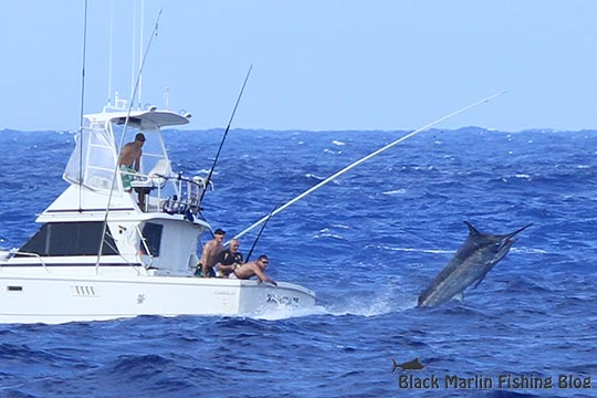 Kamikaze black marlin