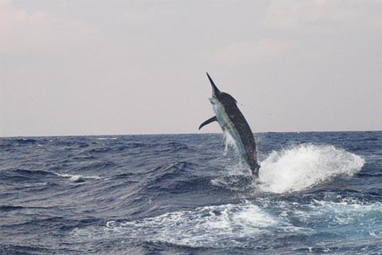 reel cross black marlin