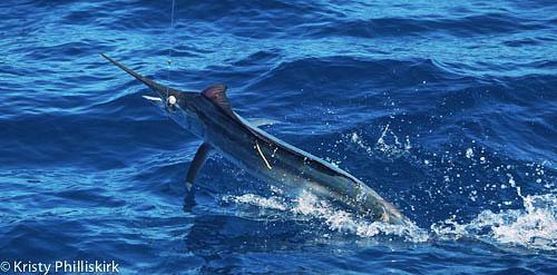 black marlin at Lucinda