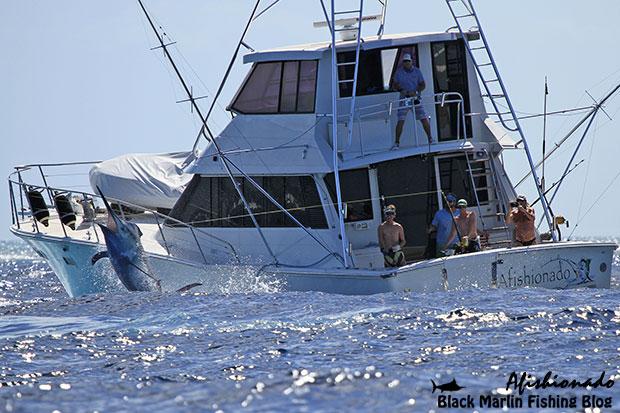 Afishionado fighting a 850lb black marlin in the Lizard Island comp