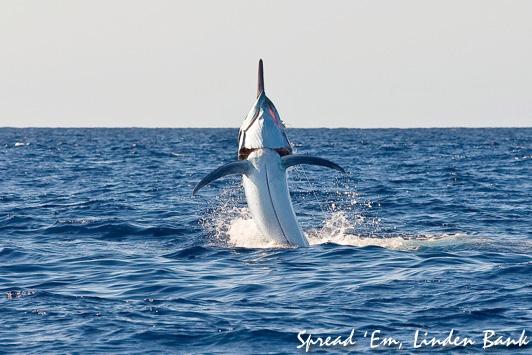 Black Marlin Fishing Blog » Giant Black Marlin in a Small Boat