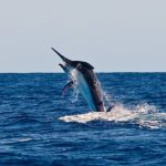 spread em giant black marlin