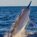 giant black marlin on spread em