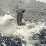 Hellraiser marlin