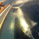 Hellraiser 850lb black marlin