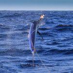 black marlin on Iona