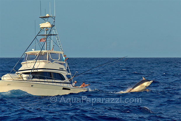 Big black marlin on the release