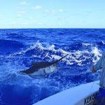 400 lb black marlin for colin on KEKOA