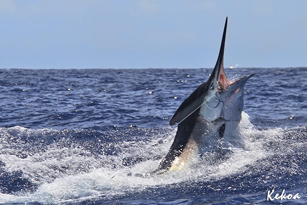 750lb black marlin for Ron