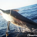 chamois free grander marlin