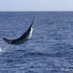 Blue marlin in Fiji