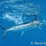 Granville underwater marlin shot
