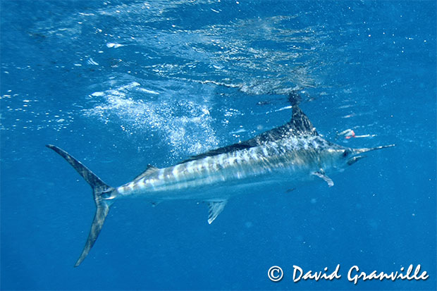 Black Marlin Fishing Blog » Improving away from the moon ...