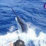 grander black marlin on IONA