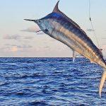 KEKOA leaping marlin