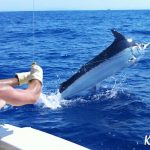 Kyrenia 800 lb black marlin