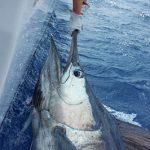 maikaira blue marlin