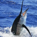 sailfish on kekoa