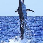 black marlin Pelagic