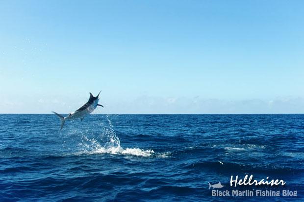 hellraiser black marlin
