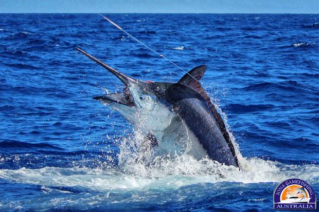 2013 Giant Black Marlin Season - It's starting! » Black ...