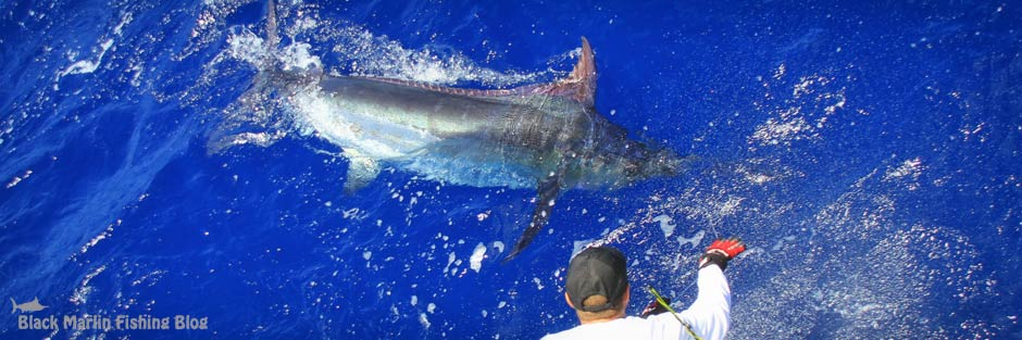 port stephens blue marlin