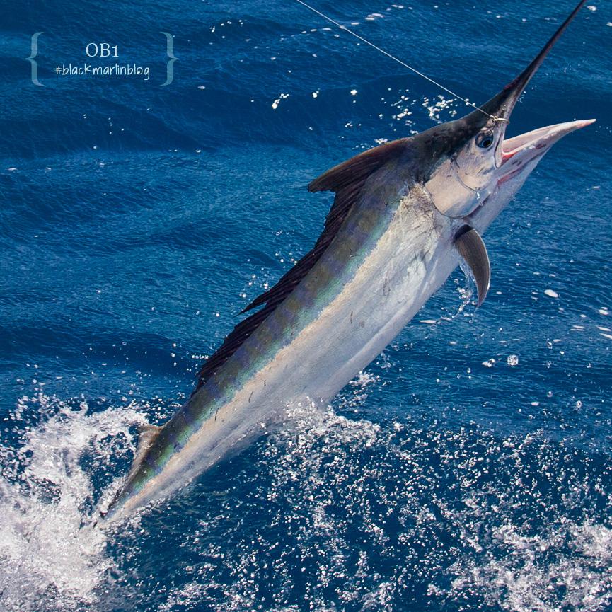 top Australian marlin fishing
