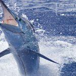 Cairns black marlin