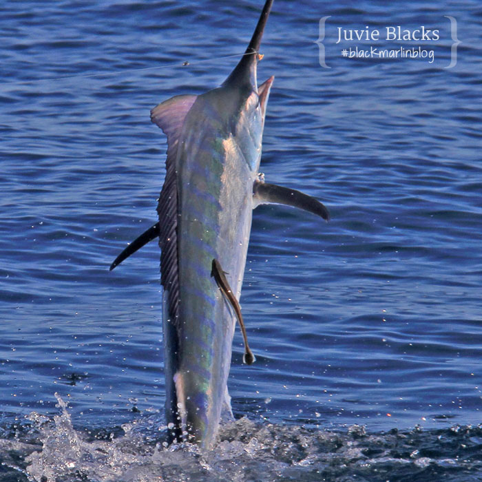 juvenile-black-marlin
