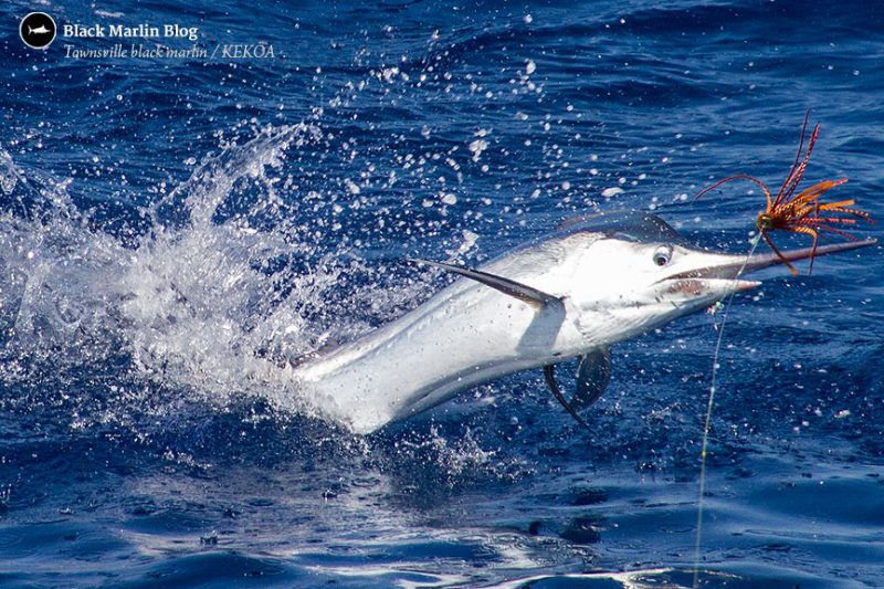 Juvie Black Marlin