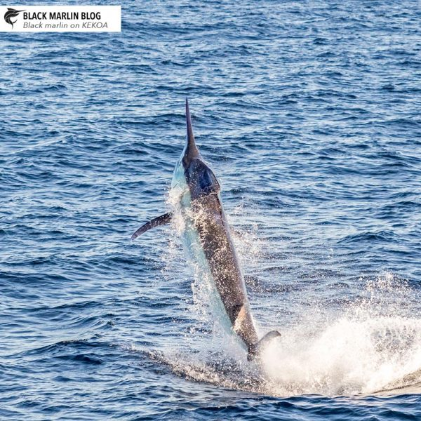 1-marlin-stock-photo
