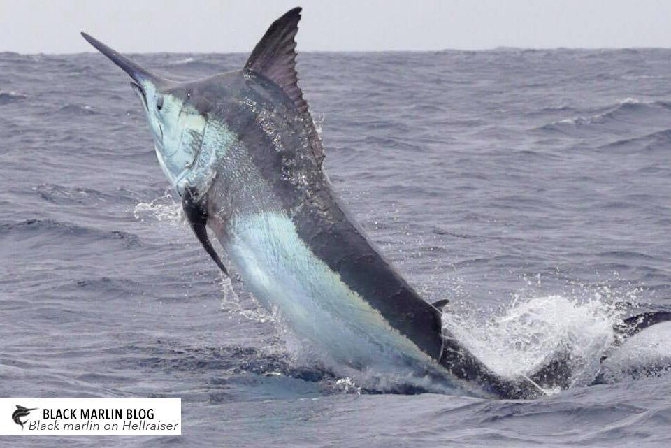 Black marlin caught on drone » Black Marlin Blog