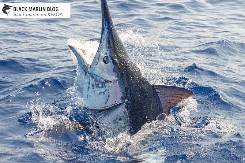 2018 Cairns Giant Black Marlin Season Recap » Black Marlin ...