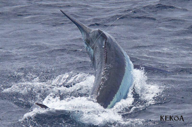 Cairns Giant Black Marlin Season » Black Marlin Blog